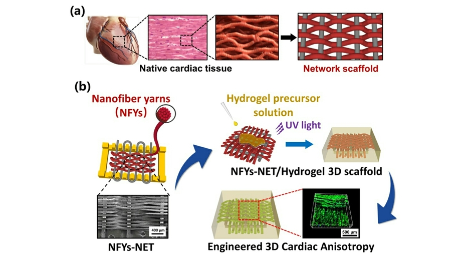Xi'an Jiaotong University Researchers Have Made Important Progress in Constructing Three-dimensional Myocardial Tissue Engineeri